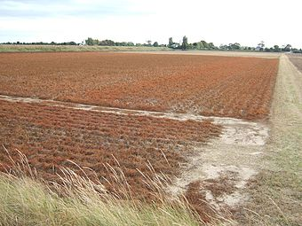 Picture: desiccated potato plants prior to harvest